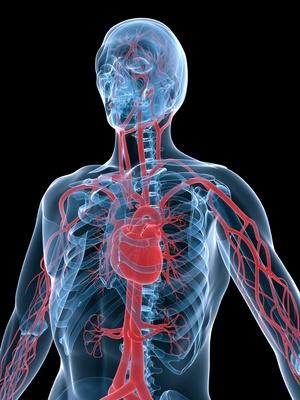 vasculäres system
