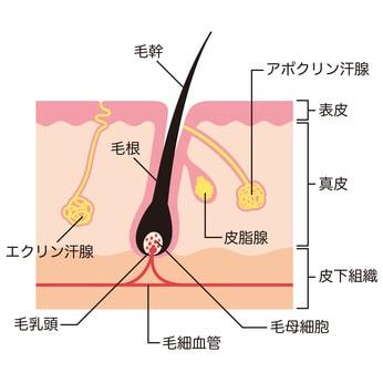 毛根の仕組みのイラスト